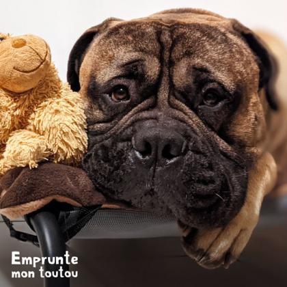 chien de race Bullmastiff