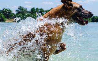 chien malinois pendant une séance de travail à l'eau