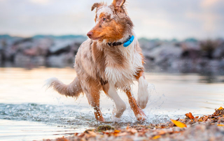 chien berger australien qui fugue