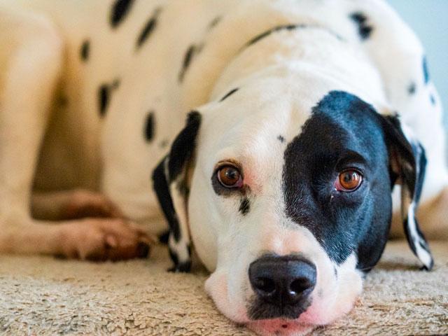 chien de race dalmatien
