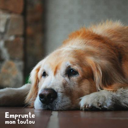 chien golden retriever, une race prédisposée au diabète