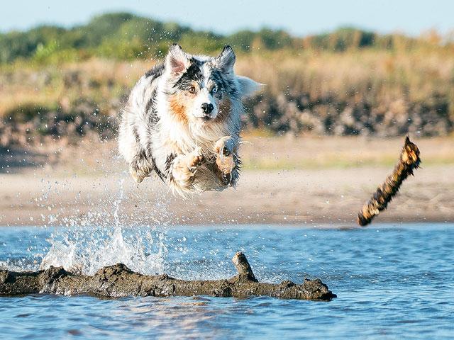 chien berger australien plongeant dans l'eau