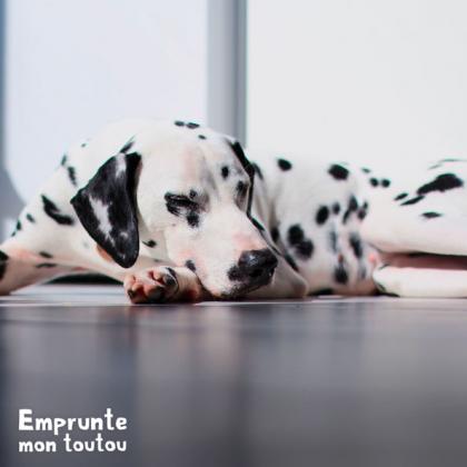 Chien de race Dalmatien couché