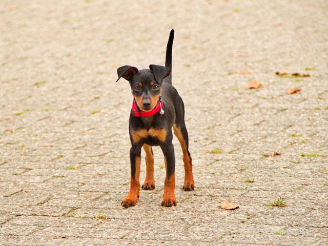 chien de race pinscher nain noir et feu