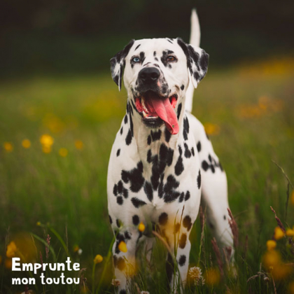 Chien de race Dalmatien avec la langue pendante