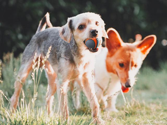 2 chiens en train de jouer dehors
