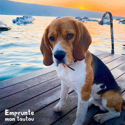 chien de race Beagle assis sur un ponton