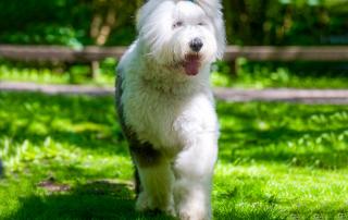 chien de race Bobtail