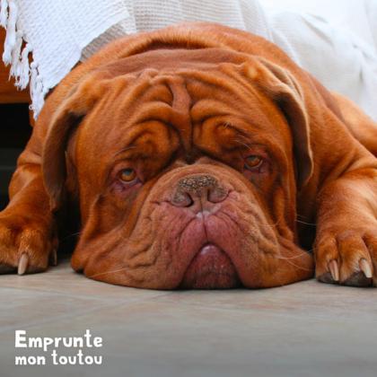 Le Dogue De Bordeaux fait partie des races touchées par la dysplasie de la hanche