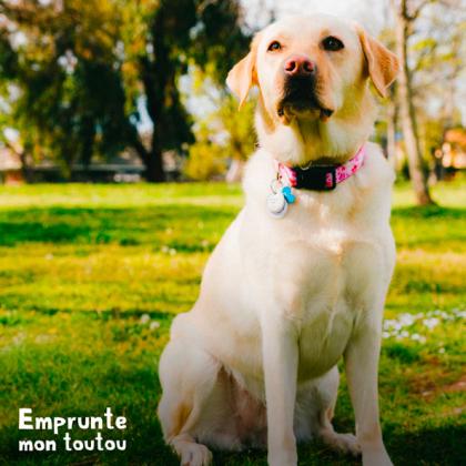 Labrador sable, chien souvent atteint de dysplasie de la hanche