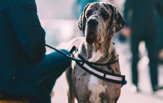 chien Dogue Allemand, prédisposé à la dysplasie de la hanche