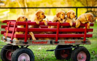 chiens golden retriever dans une remorque