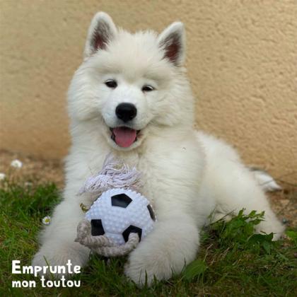 Chiot Samoyede tenant un ballon