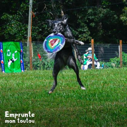 chien pratiquant le frisbee dans un club canin