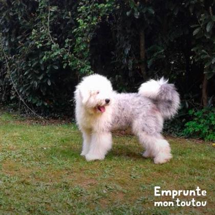 chien gris et blanc de race Bobtail