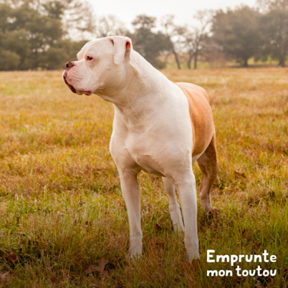 chien american bulldog blanc et marron