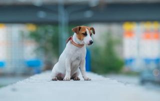 chien jack russell perdu