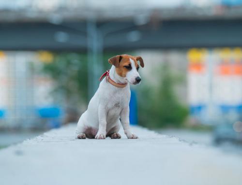 Guide du Maître : chien perdu, comment le retrouver?