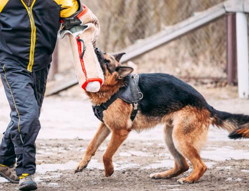 Faire une activité avec son chien : le Mordant Sportif