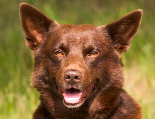Red Dog: histoire d'un chien pas comme les autres !