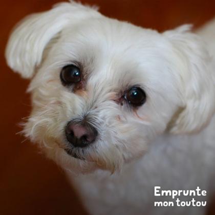 bichon maltais, une des races de chien prédisposées au syndrome du chien trembleur