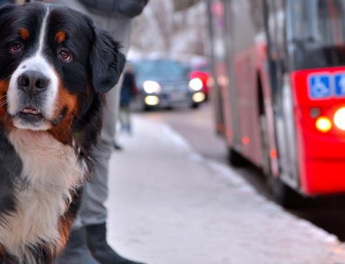Eclipse, le chien qui prend le bus tout seul !