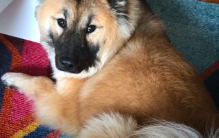 chien de race eurasier fauve
